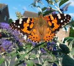 Lady Visitor (Angela Farrington) Tags: lady butterfly buddleia painted lepidoptera paintedlady paintedladybutterfly butterflyconservation bigbutterflycount 582013