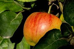 Almost ripe (cotarr) Tags: leica red apple cc geotag chicagobotanicgarden cameraraw poolphoto fruitandvegetablegarden vlux3 topazdenoise topazdetail iphonemytracks