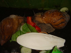 tiger snails (old ernie) Tags: giant african tiger land adults snails