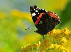 flt-s2 (gabriel_flr) Tags: animal butterfly butterflies papillon mariposa mariposas farfalla schmetterlinge schmetterling farfalle fluture greatnature fluturi nikond5000 gabrielflr gabrielflorea