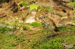 DSC_0011 (Putneypics) Tags: autumn bird vermont migration thrush putney hermitthrush putneypics