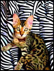 Curry_Curry_the_Bengal_cat_by_MushroomBrain (dannyhennesy) Tags: websites rellating art danny hennesy transvestitestallion httpshttpsdannyhennesyfeattransvestitestallionbandcampcom httpdannyhennesydeviantartcom httpmushroombraindeviantartcom httpwwwyoutubecomusermrmushroombrain themultimediaartistdannymushroombrainhennesythecreatorofmultiversesandkingqueenandemperorofhomeland ifyouwanttobeupdatedonmylatestartdofollowmeatdeviantartahrefhttpmushroombraindeviantartcomrelnofollowmushroombraindeviantartcomanewtuneonyoutubeahrefhttpwwwyoutubecomwatchveqsfbat0iywrelnofollowwwwy flacorwavonbandcampahrefhttpdannyhennesyfeattransvestitestallionbandcampcommusicrelnofollowdannyhennesyfeattransvestitestallionbandcampcommusicamakenoiseandlove4mushroombrainandtransvestitestallionandart cat bengal pussy hybrid spotted loepard mongrel cute sweet adorable sweetest curry joy wurst candy karry race expensive marauder nasty young lean tiger grrr grr purr purring feline zebra crossbreed worst tricky clever green eyes bruwn khaki camo camoflage outstanding skin hide giddy water lover lovely hunter predator mamal creature star bella stella currycurry katt söt suss süss focus teaser annoying pray