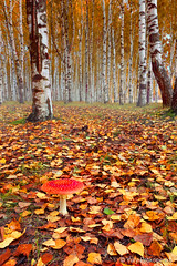 Autumn Forest (-yury-) Tags: autumn red tree mushroom yellow forest landscape leaf russia birch flyagaric kostroma