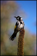 New Holland Honeyeater perched on Grass-tree flower spike (Creative_Pixels (On/Off Busy)) Tags: new white black holland bird nature birds yellow native wildlife australia southern honeyeater nectar won insectivorous eater phylidonyris pollinator novaehollandiae