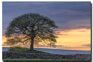 Lone Tree - at Sunset