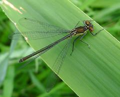 Female Large Red-eyed Damselfly. Erythromma najas. (gailhampshire) Tags: female large damselfly redeyed najas erythromma taxonomy:binomial=erythrommanajas