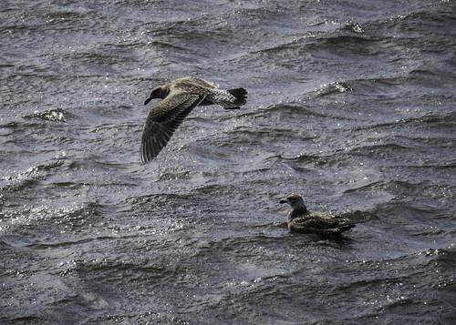 Kelp Gull in flight #3, Elwick Bay, Glenorchy