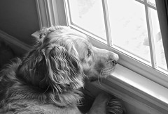 Ever vigilant..... (tvdflickr) Tags: dog pet dogs window goldenretriever puppy fur golden nikon jake canine lookout retriever whisker mansbestfriend companion vigil watchdog d610 nikond610 photosbytomdriggers photobytomdriggers thomasdriggersphotography
