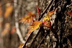 Variation von frischem Wein (im_fluss) Tags: leaves wall spring wand vine bltter frhling wilderwein