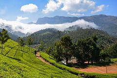 India - Kerala - Munnar - Tea Plantation - 113 (asienman) Tags: india mountains kerala hills teafactory teaplantation munnar teapicker asienmanphotography teaplantagens