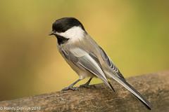 Me too! (rdroniuk) Tags: birds passerines smallbirds chickadee blackcappedchickadee poecileatricapillus oiseaux passereaux msangettenoire