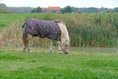 Kleurrijk (Omroep Zeeland) Tags: paard kleurrijk