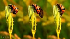 Lady's Makeup (Raj the Tora) Tags: ladybird bird lady ladybeetle beetle beetles nature wings wing pairs wingpairs chitin casing wingcase wingcasing flightwings beforeflight stretchingwings garden beach shore mahabalipuram mamallapuram stretching stretchwings stretchedwings wingstretch wingsstretching exercise morningexercise