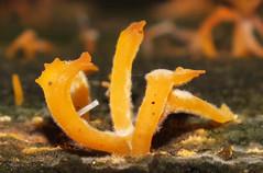 Stagshorn fungus (Calocera cornea) (shadowshador) Tags: stagshorn fungus calocera cornea neomura eukaryota opisthokonta fungi dikarya basidiomycota agaricomycotina dacrymycetes dacrymycetales dacrymycetaceae taxonomy scientific classification biology mycology wildlife life yellow british