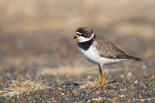 Semipalmated Plover on the tundra, Barrow, Alaska