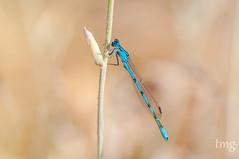 Common Bluet (Enallagma cyathigerum), male (Teo Martnez (temege)) Tags: insectos insects invertebrados naturaleza nature odonatos damselfly macro caballito diablo enallagma cyathigerum azul blue verano summer espiga