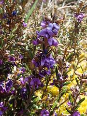 Hovea montana (dracophylla) Tags: lyellhighwayeastofderwentbridge tasmania hoveamontana fabaceae