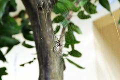 Are you quite venomous, dude? (Petrisiela) Tags: big spider garden webs net natural naturalist nikon spiderman life alive biodiversity