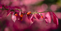 Plants. (ost_jean) Tags: plants fleurs planten bloemen nikon d5200 350 mm f18 ostjean pink colorful nature natuur bokeh belgica belgium belgique soft focus softfocus