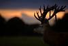 'The Red Watch' (Jonathan Casey) Tags: red deer stag norfolk uk sunset dusk gunton park nikon d810 200mm f2 vr