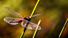 Dragonfly (Yasmine Hens) Tags: libellule dragonfly macro hensyasmine namur belgium wallonie europa aaa  belgique blgica    belgio  belgia   bel be brilliant