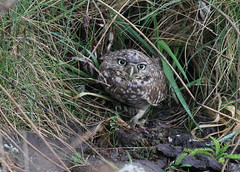 Burrowing Owl (JAC6.FLICKR) Tags: oregon athenecunicularia burrowingowl