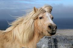 The Burren (9O6A5463) (Wonder Westie) Tags: burren theburren crabhin sencrabhin pony animal canoneos canoneos5dmarkiii canon limestonepavement nationalpark wildatlanticway atlantic atlanticocean bluesky clouds outdoor outdoors sky horizon mane windy ireland eire ie coclare countyclare