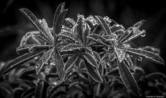 Leaves and Water Droplets #2 (petechar) Tags: petechar charlesrpeterson tomalespointtrail pointreyesnationalseashore marincounty california panasonicgx85 panasonicleica45mm patterns plant closeup water waterdroplet leaf monochrome