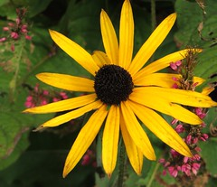 SINGLE YELLOW (jackiebishop2005) Tags: single yellow flower autumn cwmdonkin park swansea south wales