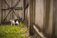 Lizard hunt (Michael Mendonca) Tags: orlando cat ralph fun backyard animal pet florida fall grass fence tree brown warmth happy kitten fluffy fur baby
