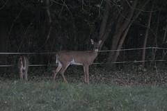 _MG_1937 (thinktank8326) Tags: deer whitetaileddeer fawn doe babyanimal babydeer