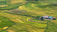 Terraced rice fields in Sapa, Vietnam (antony5112) Tags: rice fields terrace terraces sapa vietnam cultivation riso risaie agriculture paddyfields