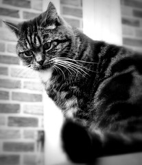 mONDAY fACE (SpitMcGee) Tags: mondayface teddy cat kater pet notmycat blackwhite schwarzweis monochrom spitmcgee
