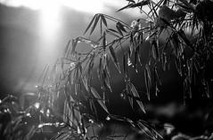 bamboo (franzj) Tags: bamboo bambus