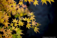 Maple foliage 2 (frattonparker) Tags: nikond600 nikkor50mmf18 lightroom6 adoberaw9 cs6 autumn fall frattonparker btonner isleofwight dof