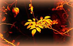 Macro Monday: Backlit (Krnchen59) Tags: backlit macromonday bltter licht farbe color krnchen59 elke krner pentax k7