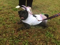 (amy hit the atmosphere) Tags: pug puglife blackpug dog cute pugdog puppy pet adorable costume cosplay halloween unicorn pugicorn magical pugtoberfest guardianangelspugrescue nature grass