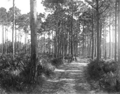 Road to school - Eastpoint (State Library and Archives of Florida) Tags: florida eastpoint pinelands dirtroads pinetrees palmettobushes