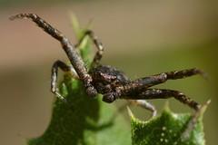 Crab Spider (Thomisidae) on Coast Live Oak - maybe Coriarachne brunneipes? (Treebeard) Tags: male palp crabspider coriarachnebrunneipes thomisidae coastliveoak quercusagrifolia fagaceae sanmarcospass santabarbaracounty california