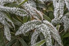Erster Frost - 0028_Web (berni.radke) Tags: ersterfrost frost raureif wassertropfen rime eisblumen eiskristalle iceflowers icecrystals escarcha