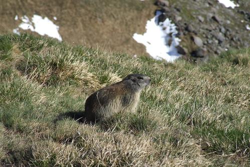 Marmot, 31.05.2009.