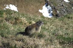 Marmot, 31.05.2009. (Dāvis Kļaviņš) Tags: austria heiligenblut panoramio