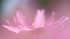 _IGP2975_web (Erik Koffmar) Tags: soft doubleexposure gardencosmos cosmos garden flower pink summer pentaxa50mmf14 50mm f14manual manuallens macroflowerlover macrodreams macro