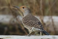 Northern Flicker (shimmer5641) Tags: colaptesauratus northern flicker northernflickerfemale woodpeckers westdyketrail richmondbc birdsofbritishcolumbia birdsofnorthamerica