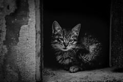 Batuffoli (Enricodot) Tags: enricodot cat gatto cats blackandwhite bw bn bianconero ilobsterit