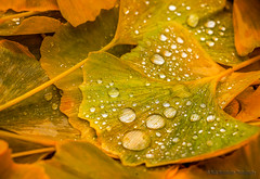 Autumn drops. (rudi.verschoren) Tags: outdoor nature natuur close drops water leaf veins yellow mustardyellow brown green groen canon colors 70d mood image tree reflection light leaves eos europe europa