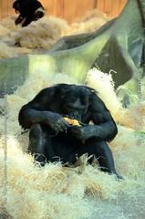 chimpansee - Pan troglodytes (MrTDiddy) Tags: chimpansee pan troglodytes male mannelijk corn mais ape mensaap arnold zooantwerpen zoo antwerp antwerpen