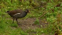 Moorhen (J @BRX) Tags: moorhen adeldam goldenacrepark bramhope leeds yorkshire england uk september2016 autumn bird waterbirds yorkshirewildlifetrust