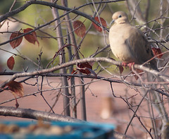 Birdwatching 20141218 (caligula1995) Tags: 2016 birds plumtree