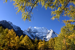 Mt.Chenresig  (Mel s away) Tags: mtchenresig  daocheng sichuan china    pine golden tree plant mountain snowmountain chanmelmel mel melinda melindachan larch   nature reserve